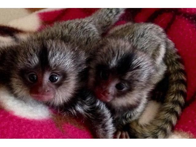 Majmuni majmuna za bebe za usvajanje.