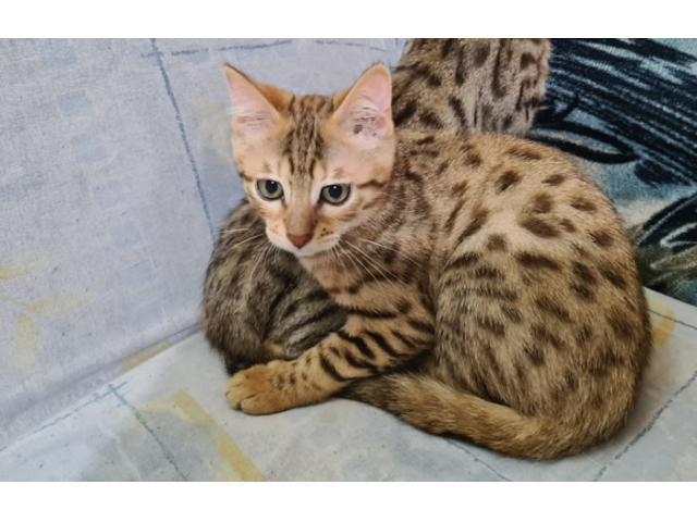 Bengalske mačke