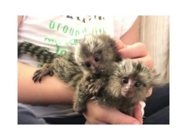Marmoset majmuni na udomljavanje.