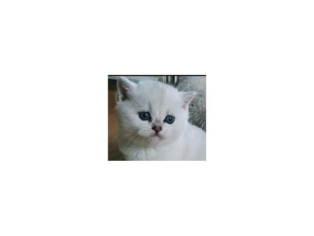 Britanska kratkodlaka macka